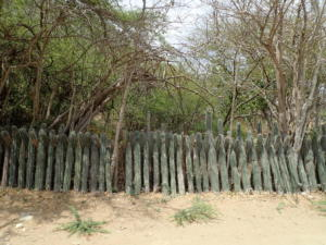 19 Cactus haag als afrastering
