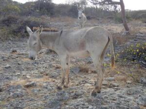 34 In het wild lopende ezels