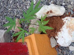 Wietplant (ganja) bij geboorte huis Bob Marley