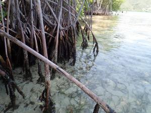 29 Mangrove