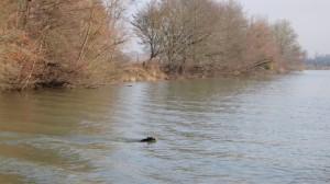 08 En dan zwemt er een everzwijn naar de overkant.