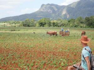 Omgeving Vinales. Tabakplantage