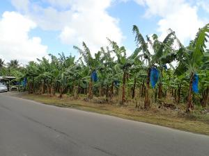 (39) Bananen plantage