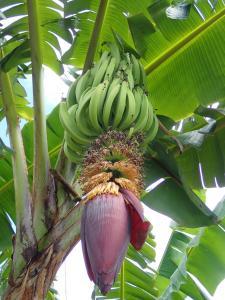(40) Bananentros