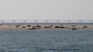Zeehonden op de Oosterschelde